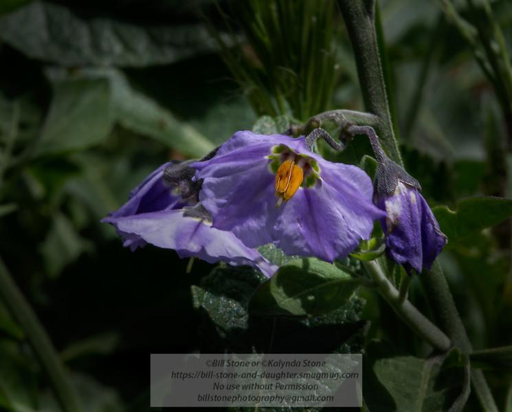 Solanum umbelliferum, Blue nightshade, blue witch, Mount Diablo<br /> Photo-a-Day 5/12/2014 Bill Stone
