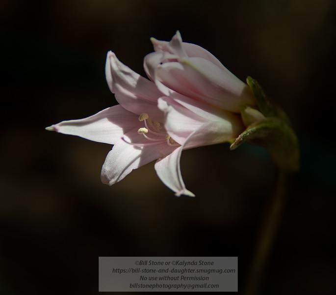 Pink Lady - Amaryllis belladonna<br /> Photo-a-Day 7/27/2014 Bill Stone