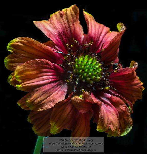 A nice little daisy<br /> Photo-a-Day 3/22/2014 Bill Stone