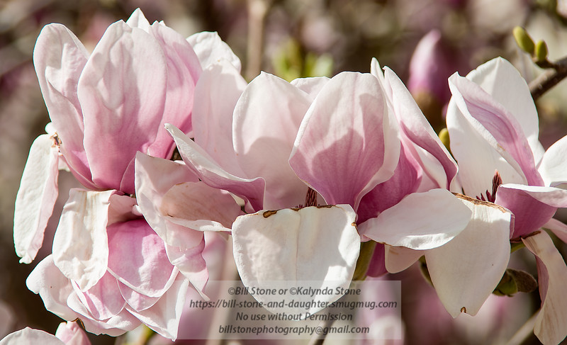 Pretty in Pink<br /> Photo-a-Day 2/3/2014 Bill Stone