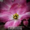 "Pink dogwood, or Cornus florida ""Rubra"", Sacramento<br /> Photo-a-Day 9/21/2014 Bill Stone"