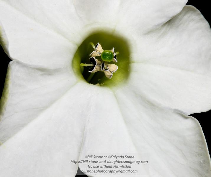 Nicotiana Alata, Flowering or Jasmine Tobacco<br /> Photo-a-Day 3/24/2014 Bill Stone