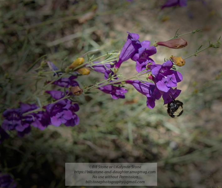 Bumblebee on Penstemon, Mount Hamilton, California<br /> Photo-a-Day 6/18/2014 Bill Stone