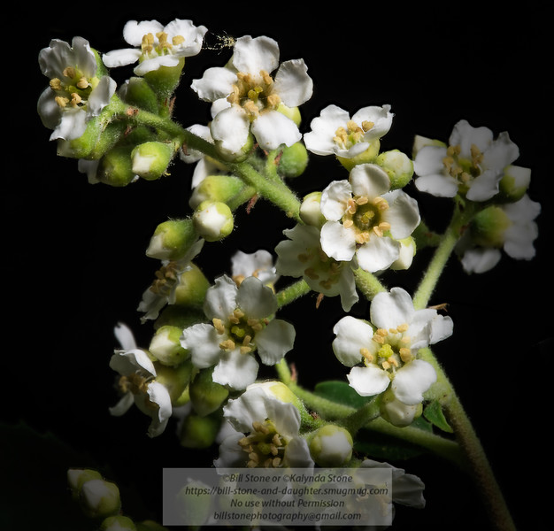 close-up of toyon, Heteromeles arbutifolia<br /> Photo-a-Day 6/10/2014 Bill Stone
