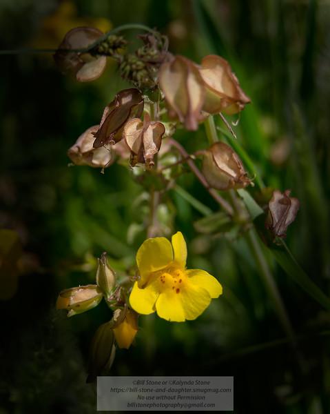 Golden Monkey Flower, Mimulus guttatus, Mount diablo<br /> Photo-a-Day 5/6/2014 Bill Stone