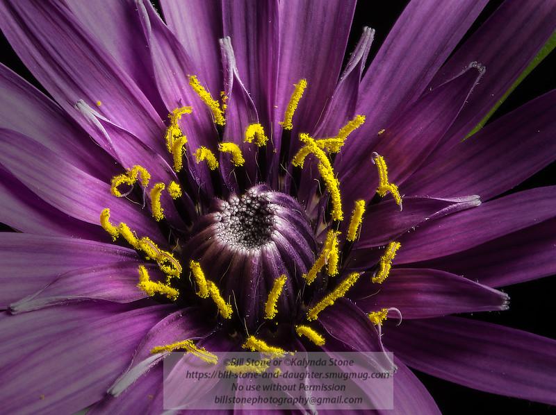 Closeup of Purple Salsify (Tragopogon porrifolius)<br /> Photo-a-Day 4/26/2014 Bill Stone