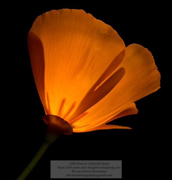 California poppy (Eschscholzia californica)<br /> Photo-a-Day 4/5/2014 Bill Stone