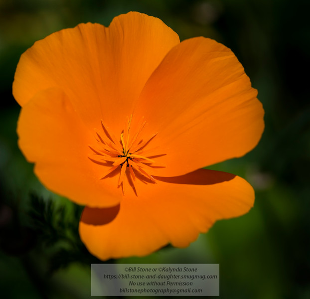 California poppy (Eschscholzia californica)<br /> Photo-a-Day 4/17/2014 Bill Stone