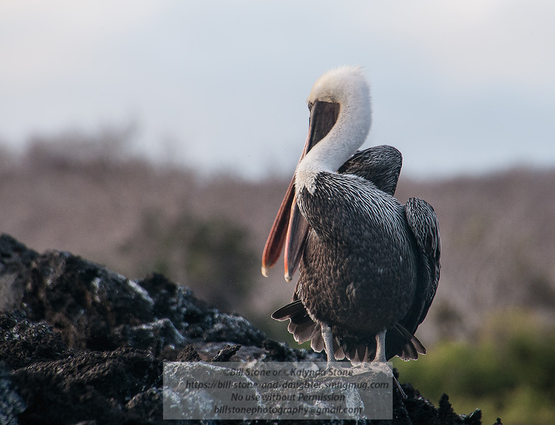 Brown Pelican (Pelecanus occidentalis) preening<br /> Photo-a-Day 1/23/2014 Bill Stone