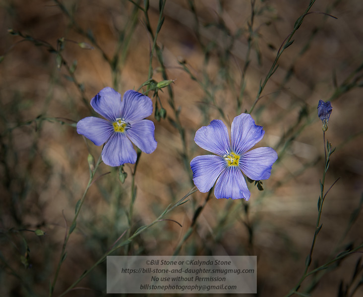 Linum lewisii - Blue flax, Lewis' flax, Western Blue Flax, prairie flax<br /> Photo-a-Day 6/28/2014 Bill Stone