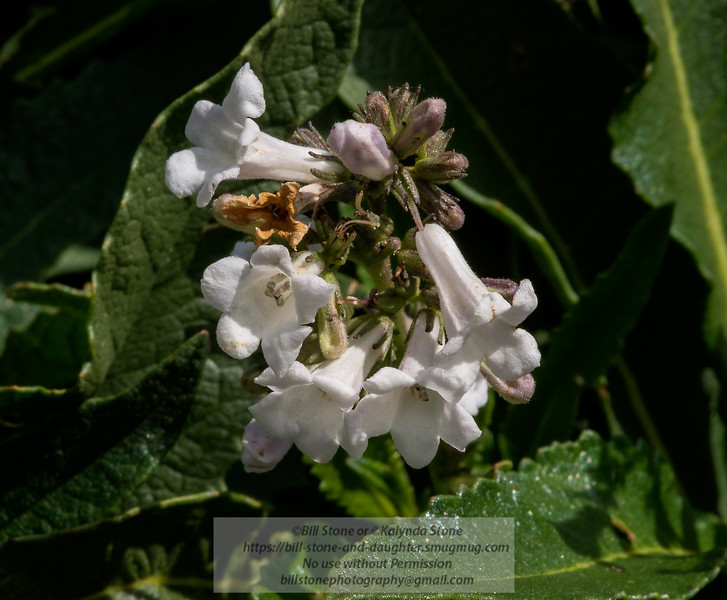 Yerba Santa, Eriodictyon californicum, mount diablo<br /> Photo-a-Day 5/9/2014 Bill Stone