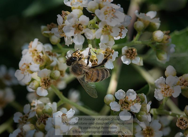 Honeybee on Toyon (Heteromeles arbutifolia)<br /> Photo-a-Day 6/8/2014 Bill Stone