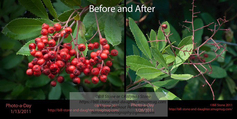 Toyon Berries (Heteromeles arbutifolia) before and after being eaten by birds