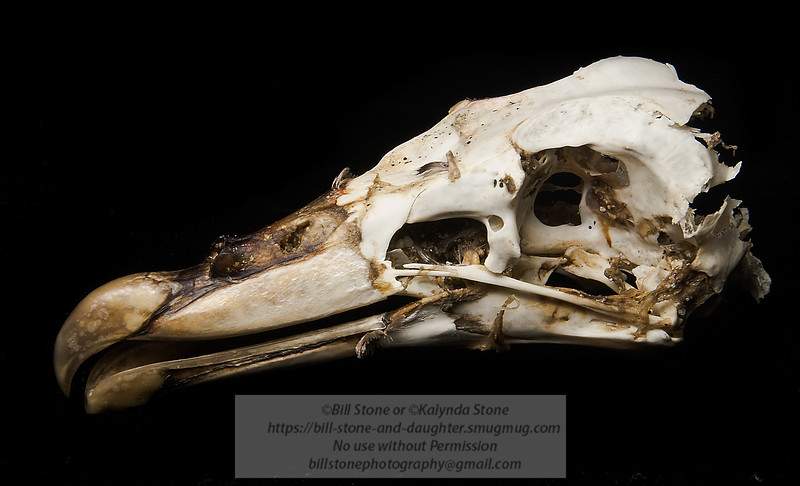 Possible Shearwater Skull - Marin County California. Photo-a-Day 040111 Bill Stone