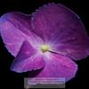 Single hydrangea petal Photo-a-Day 7/8/2011 Bill Stone