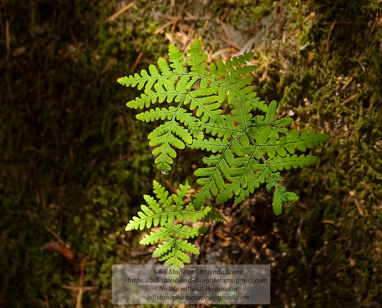 Fern on a mossy hillside - Sonoma County Photo-a-Day 5/30/2011 Bill Stone