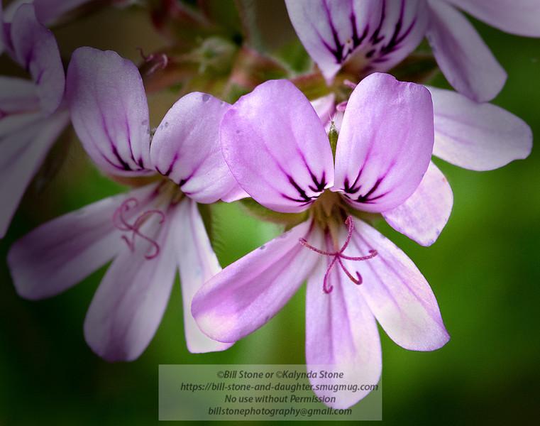 Rose Geranium - Pelargonium graveolens Photo-a-Day 6/18/2011 Bill Stone