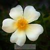 White Garden Flower