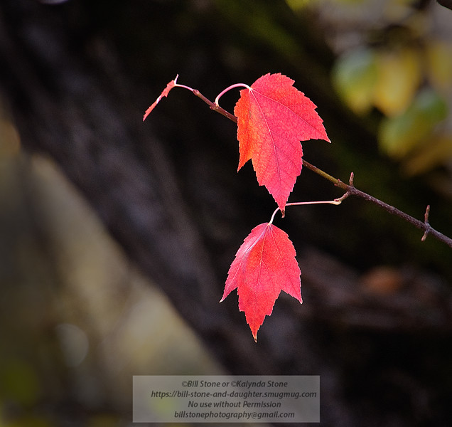 Hanging in till the bitter end - red-leaf maple (acer rubrum)