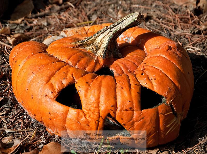 decomposing pumpkin 11/12/2011. Photo-a-Day 11/12/2011 Bill Stone