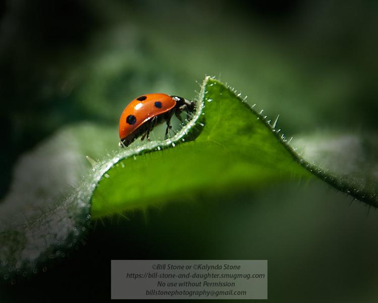 ladybug (lady bird beetle) Photo-a-Day 5/5/2011 Bill Stone