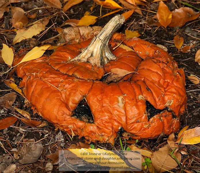 Decomposing Pumpkin Week 4 - Photo-a-Day 11/22/2011 Bill Stone