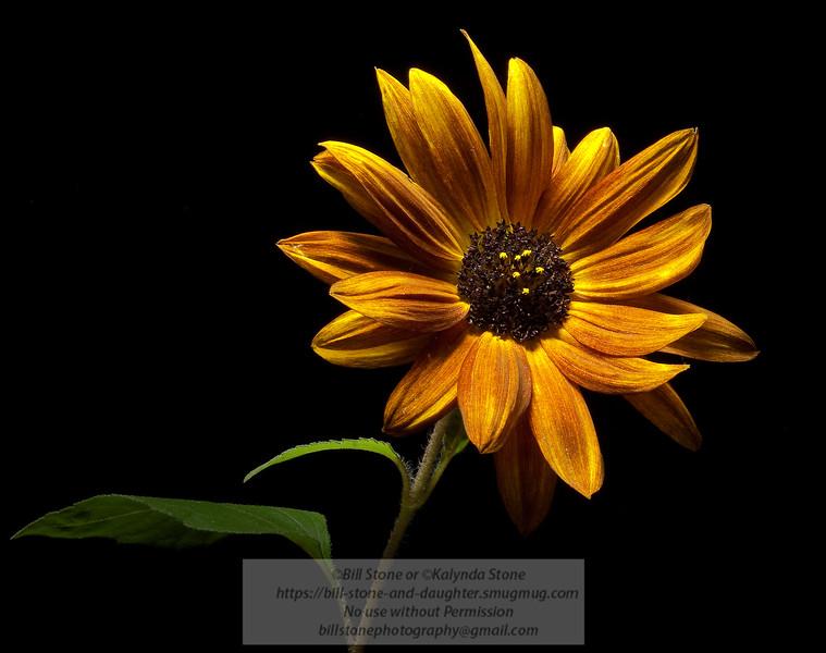 Sunflower. Photo-a-Day 9/9/2011 Bill Stone