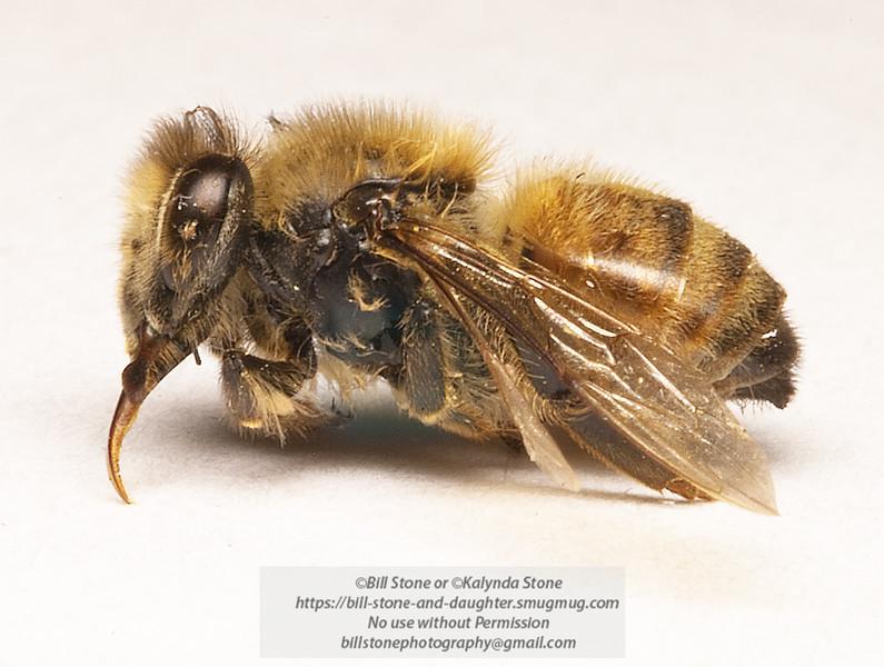 Native Bee - Walnut Creek California. Didn't make it through the cold night. Photo-a-Day 4/11/2011 Bill Stone