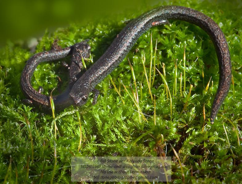 California Slender Salamander-Batrachoseps attenuatus - Contra Costa County 1/31/2011 Bill Stone