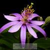 Purple Flower from Garden Photo-a-Day 7/21/2011 Bill Stone