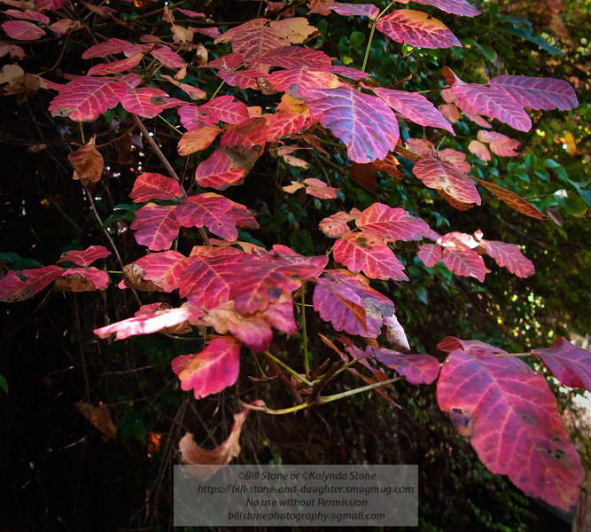 Fall Poison Oak (Toxicodendron diversilobum) California Fall Color Photo-a-Day 10/14/2011 Bill Stone