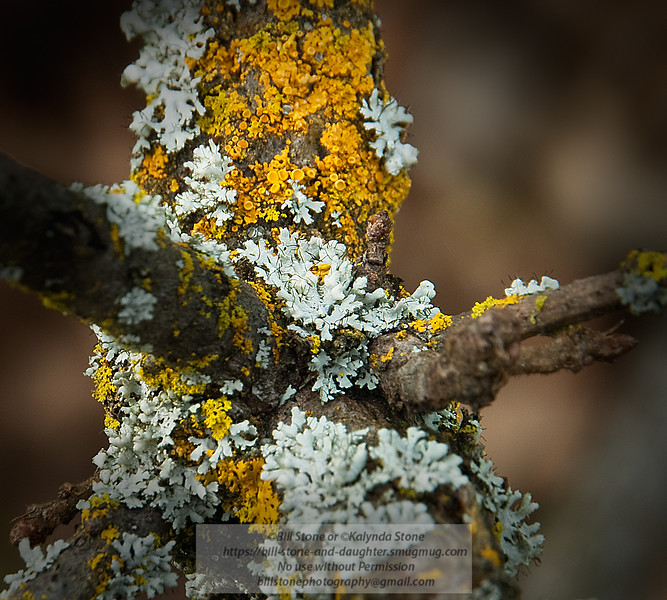 Lichens on Valley Oak. Photo-a-Day 3/4/2011 Bill Stone