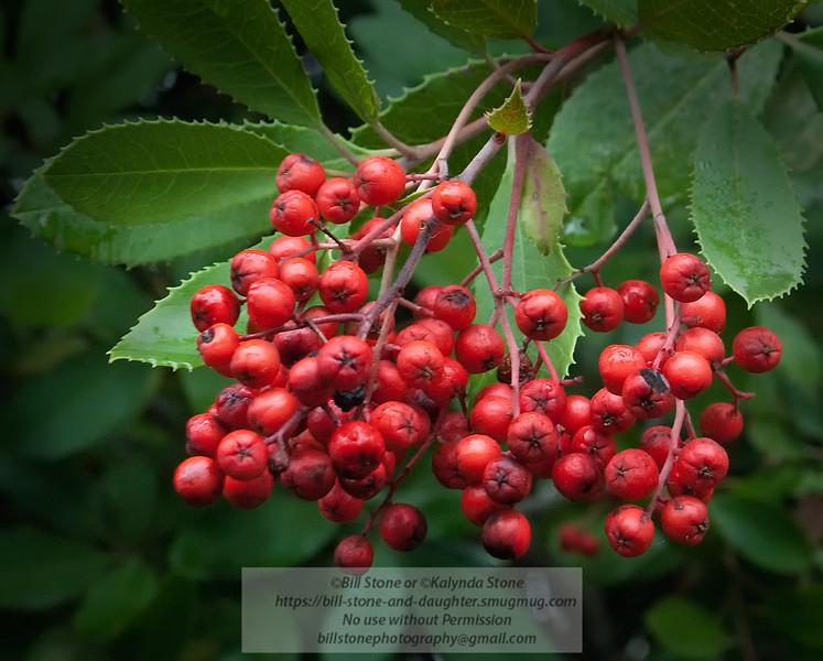Toyon Berries (Heteromeles arbutifolia)