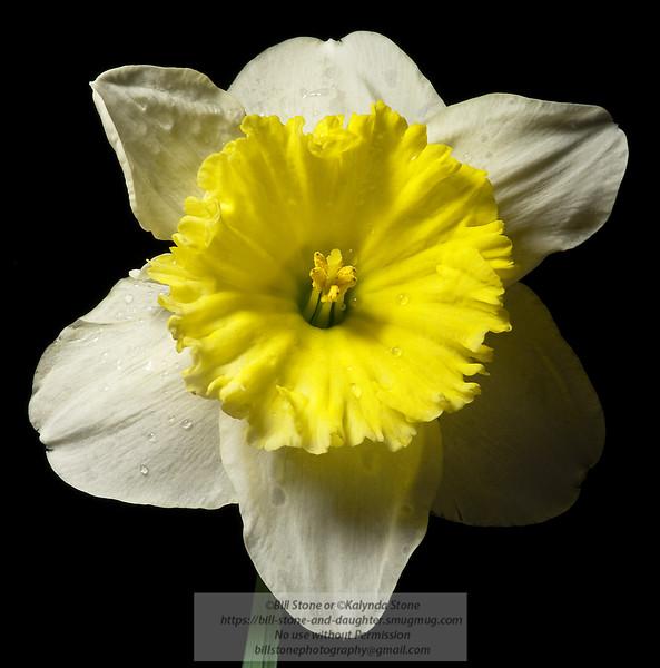 Daffodil - Photo-a-Day 02/19/2011 Bill Stone