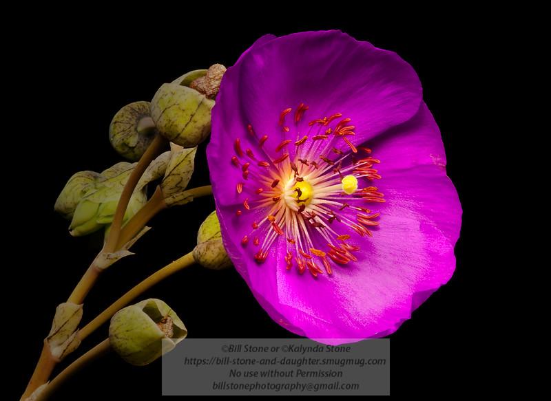 Rock Purslane (Calandrinia grandiflora) Photo-a-Day 6/17/2011 Bill Stone