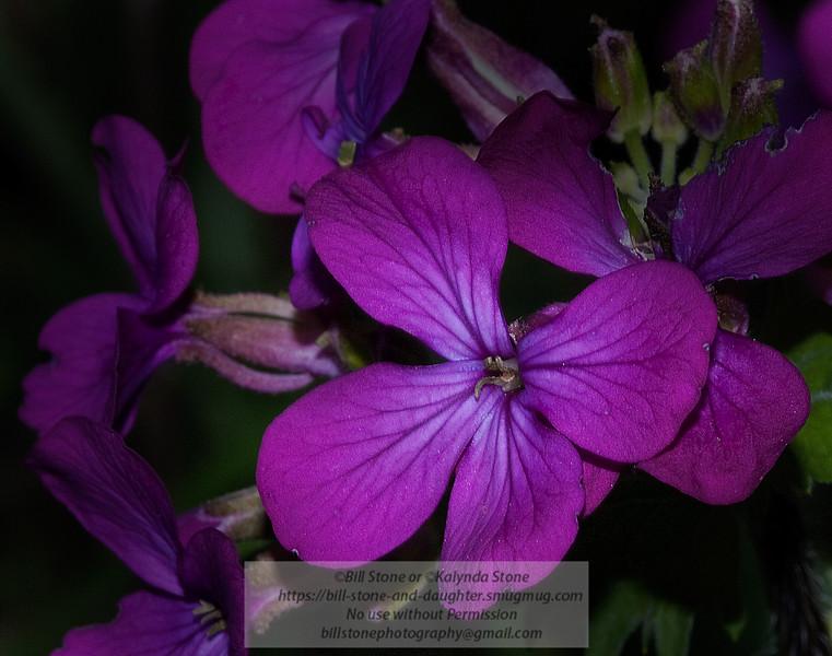 Moneyplant flower
