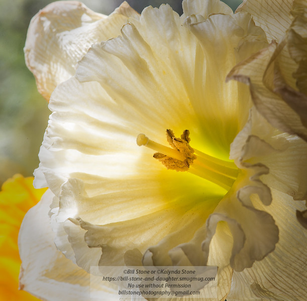 Daffodil<br /> Photo-a-Day 3/10/2015 Bill Stone