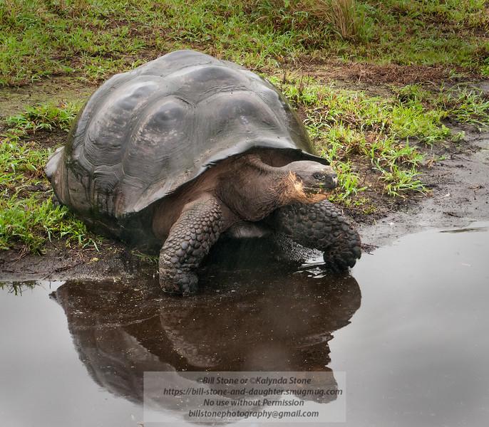Galápagos tortoise (Chelonoidis nigra porteri) Santa Cruz Island subspecies: some consider most ssp. as sp.