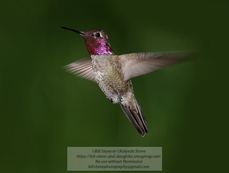 Anna's Hummingbird (Calypte anna)<br /> Photo-a-Day 2/25/2015 Bill Stone
