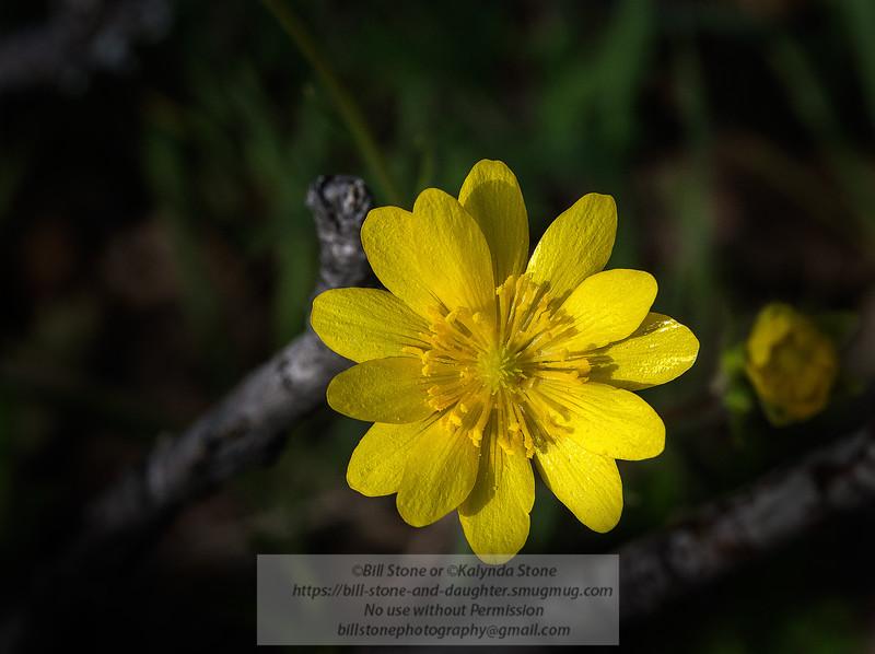 Hartweg's buttercup (Ranunculus canus), Mount Diablo<br /> Photo-a-Day 2/20/2015 Bill Stone