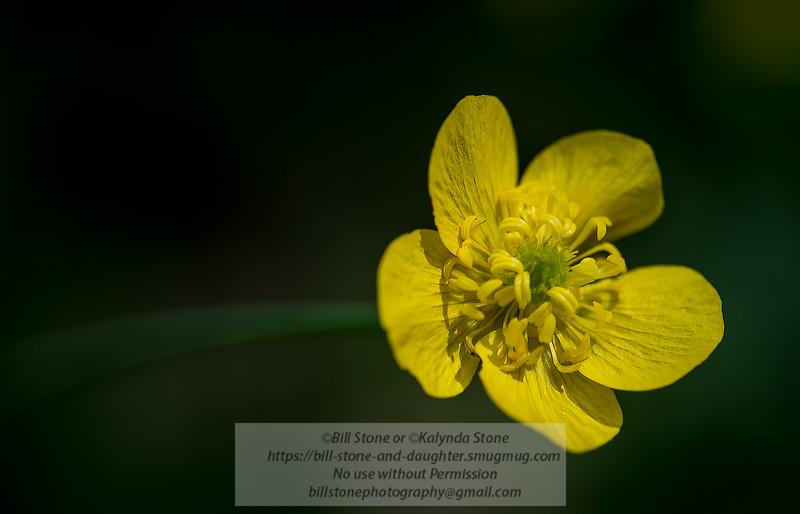 Buttercup (Ranunculus)<br /> Photo-a-Day 3/16/2015 Bill Stone