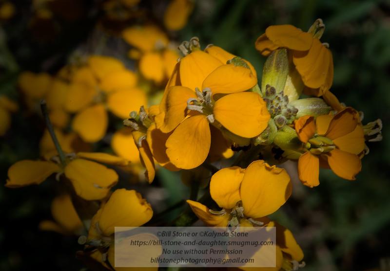 Wallflower (Erysimum capitatum), Mount Diablo<br /> Photo-a-Day 2/19/2015 Bill Stone