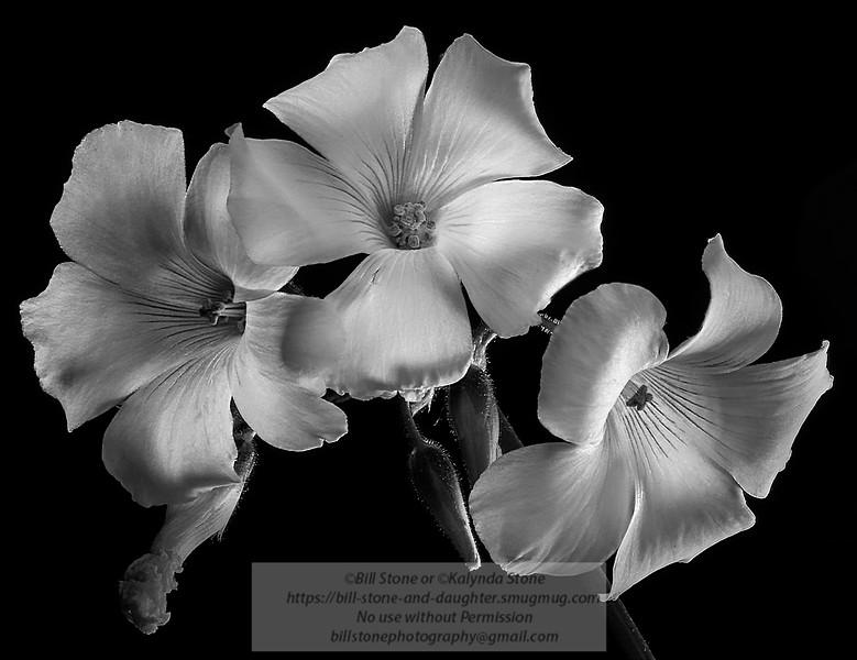 Bermuda buttercup (Oxalis pes-caprae)