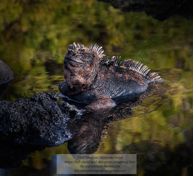 Marine iguana (Amblyrhynchus cristatus) Galapagos<br /> November 2009<br /> Photo-a-Day 4/9/2015 Bill Stone