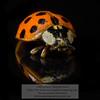 Ladybug<br /> Photo-a-Day 5/5/2015 Bill Stone