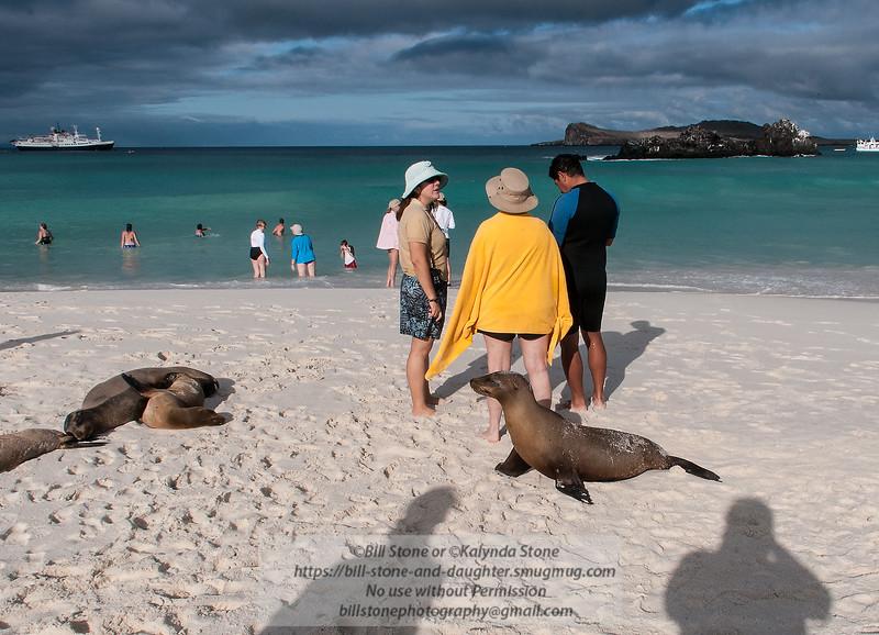 Don't mind me, just passin' through, Galápagos sea lion (Zalophus wollebaeki), Espańola Island beach, Galapagos<br /> Photo-a-Day 4/6/2015 Bill Stone
