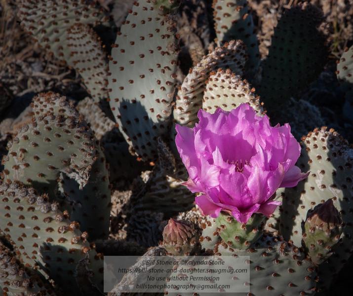 Beavertail Cactus (Opuntia basilaris) Death Valley<br /> Mach 2005<br /> Photo-a-Day 4/13/2015 Bill Stone