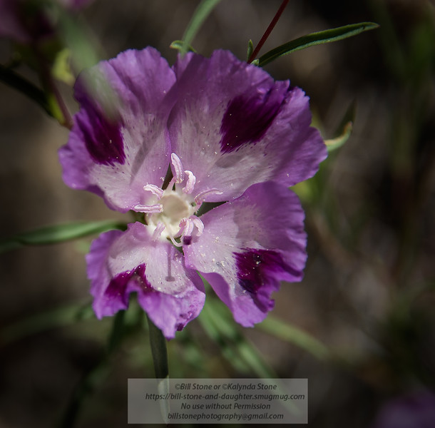 Winecup fairyfan (Clarkia purpurea ssp. viminea)<br /> Photo-a-Day 6/16/2015 Bill Stone