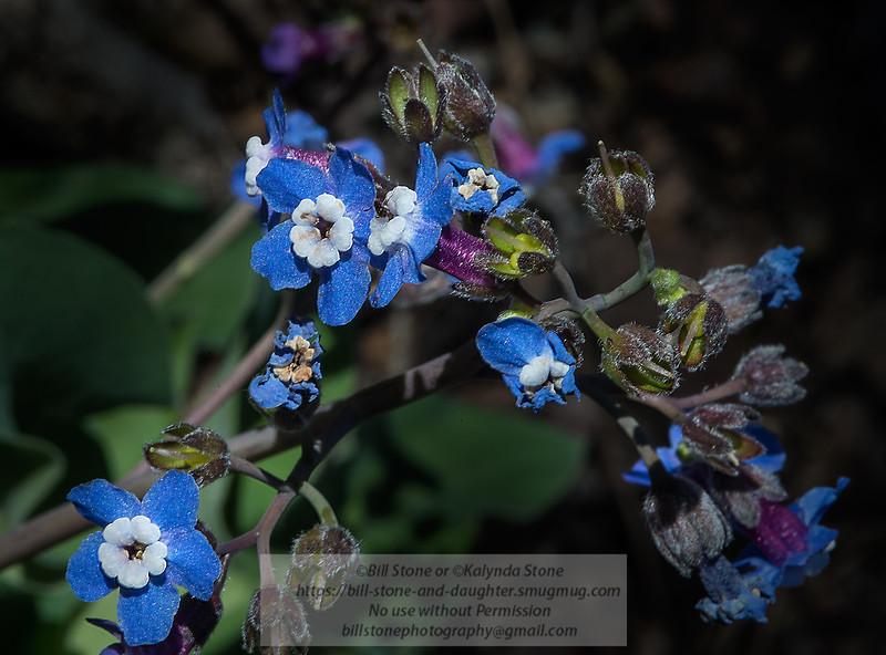 Houndstongue (Cynoglossum grande), Mount Diablo<br /> Photo-a-Day 2/23/2015 Bill Stone