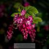 Red-Flowering Currant (Ribes sanguineum)